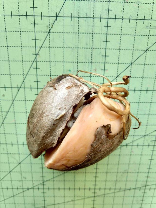 Coração de abacate - Foto