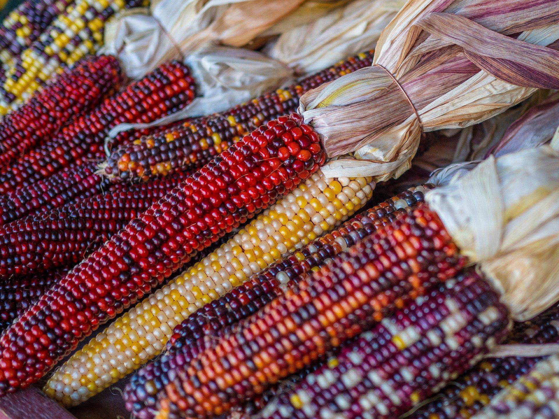 corn-4496878_1920 (1)
